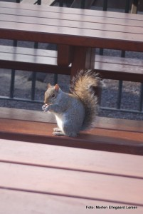 De små egern i Hyde Park er meget nysgerrige
